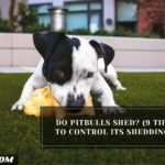 Do Pitbulls Shed? (9 Tips To Control Its Shedding)