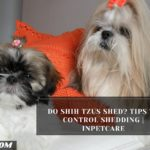 Do Shih Tzus Shed? Tips To Control Shedding | InPetCare