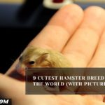 9 Cutest Hamster Breed In The World (With Pictures)