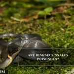 Are Ringneck Snakes Poisonous?