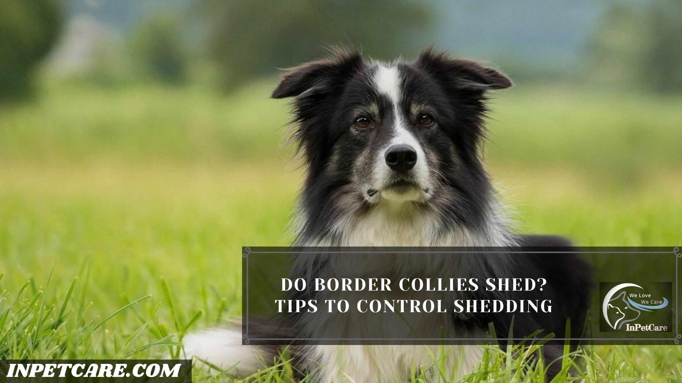 Do Border Collies Shed? Tips To Control Shedding