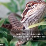 What to Feed Bearded Dragon Baby? - Proper Diet Plan