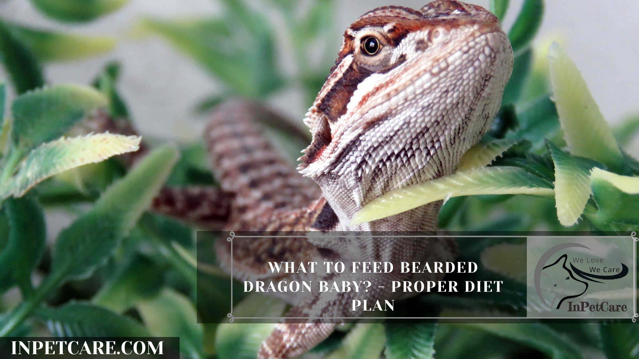 What to Feed Bearded Dragon Baby? – Proper Diet Plan