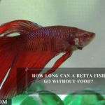 How Long Can A Betta Fish Go Without Food?