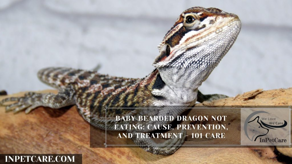 Here's Why Baby Bearded Dragon Not Eating