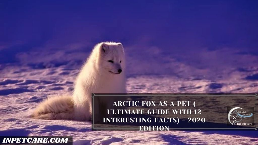Arctic Fox as a Pet: A Complete Guide (With Pictures)