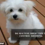 Do Maltese Shed? Tips To Control Shedding