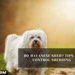 Do Havanese Shed? Tips to Control Shedding