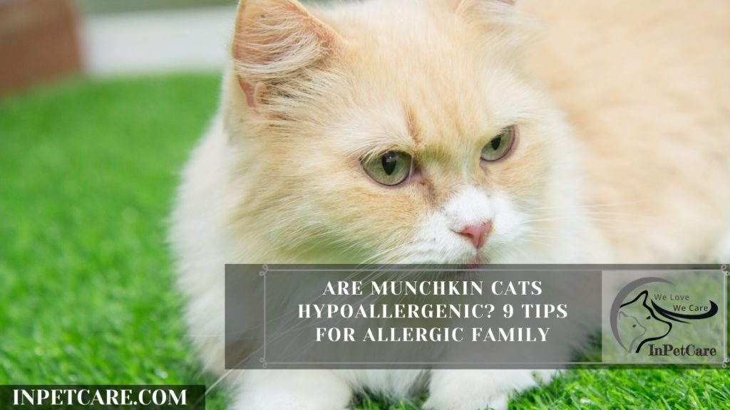 Are Munchkin Cats Hypoallergenic? 9 Tips for Allergic Family