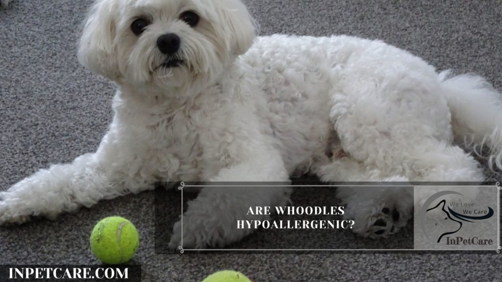 Are Whoodles Hypoallergenic? 9 Tips For Family With Allergy