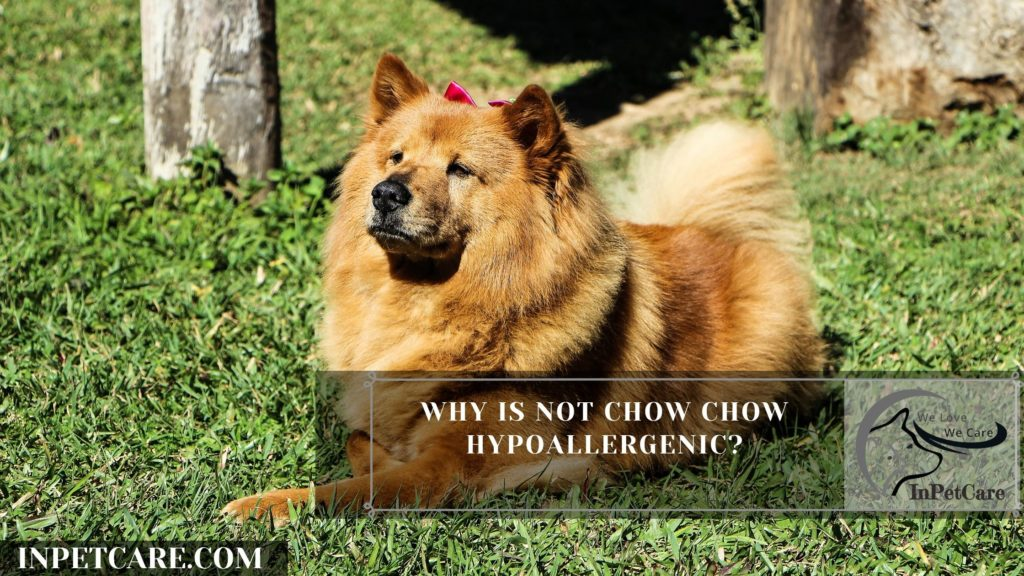 Are Chow Chows Hypoallergenic? 9 Tips For Allergic Families