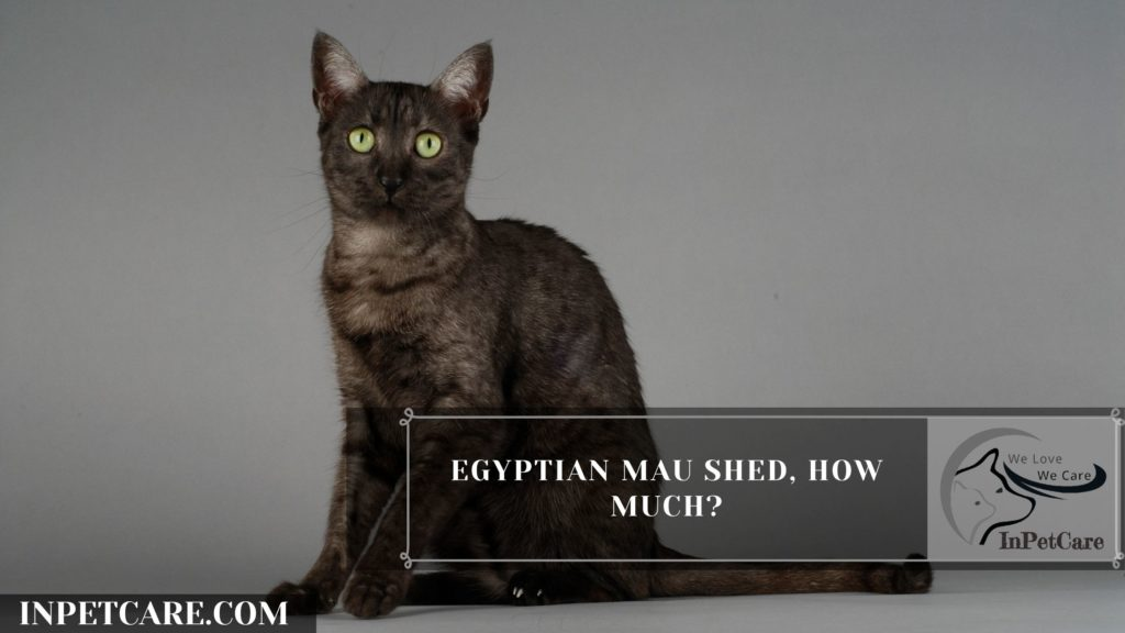 Are Egyptian Mau Hypoallergenic? 9 Tips For Allergic Family
