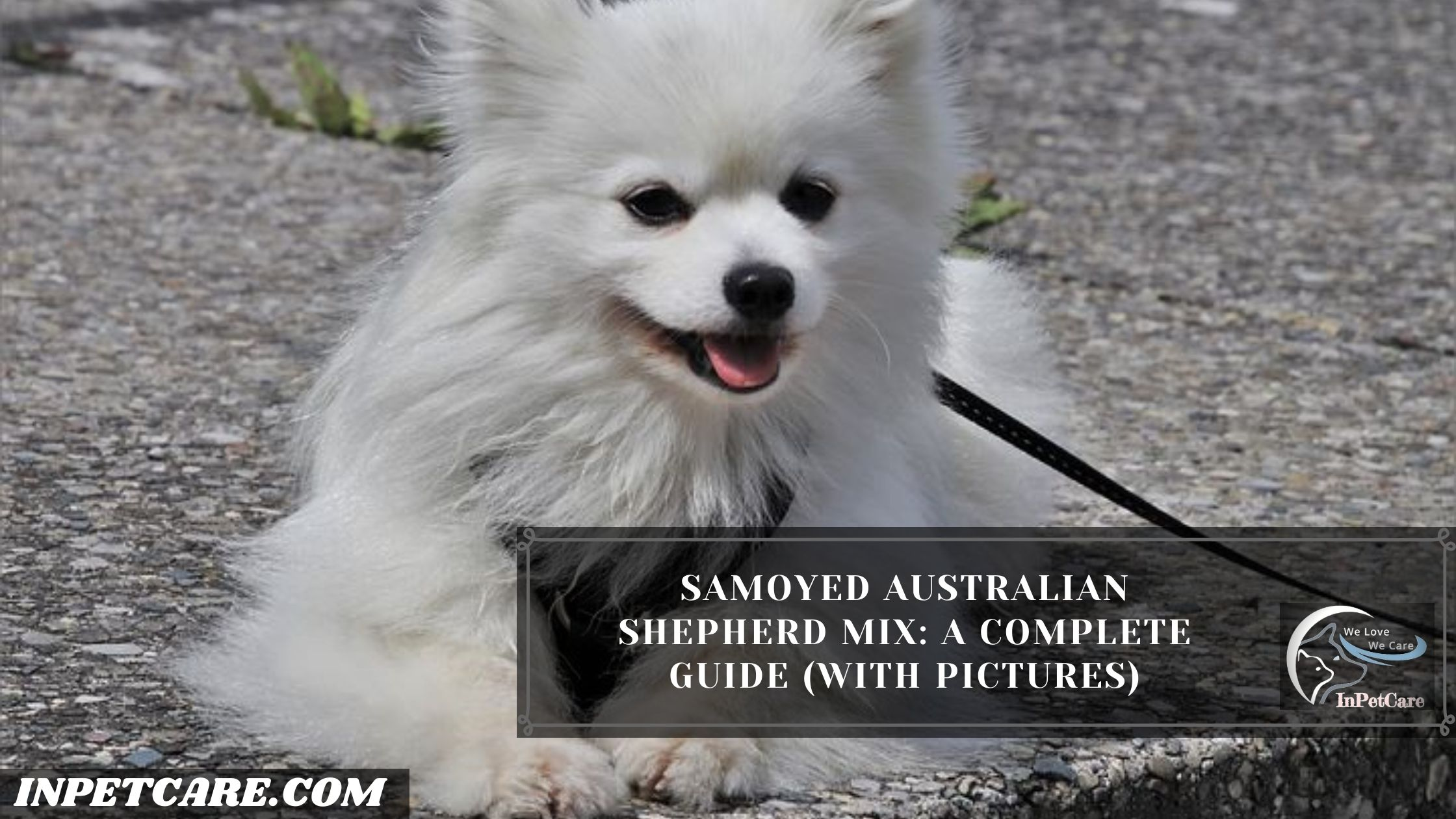 Samoyed Australian Shepherd Mix: A Complete Guide (With Pictures)