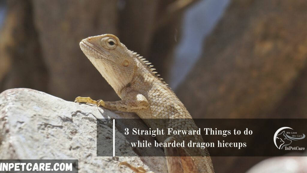 3 Straight Forward Things to do while bearded dragon hiccups