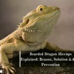 Bearded Dragon Hiccups: Reasons, Solutions & Preventions
