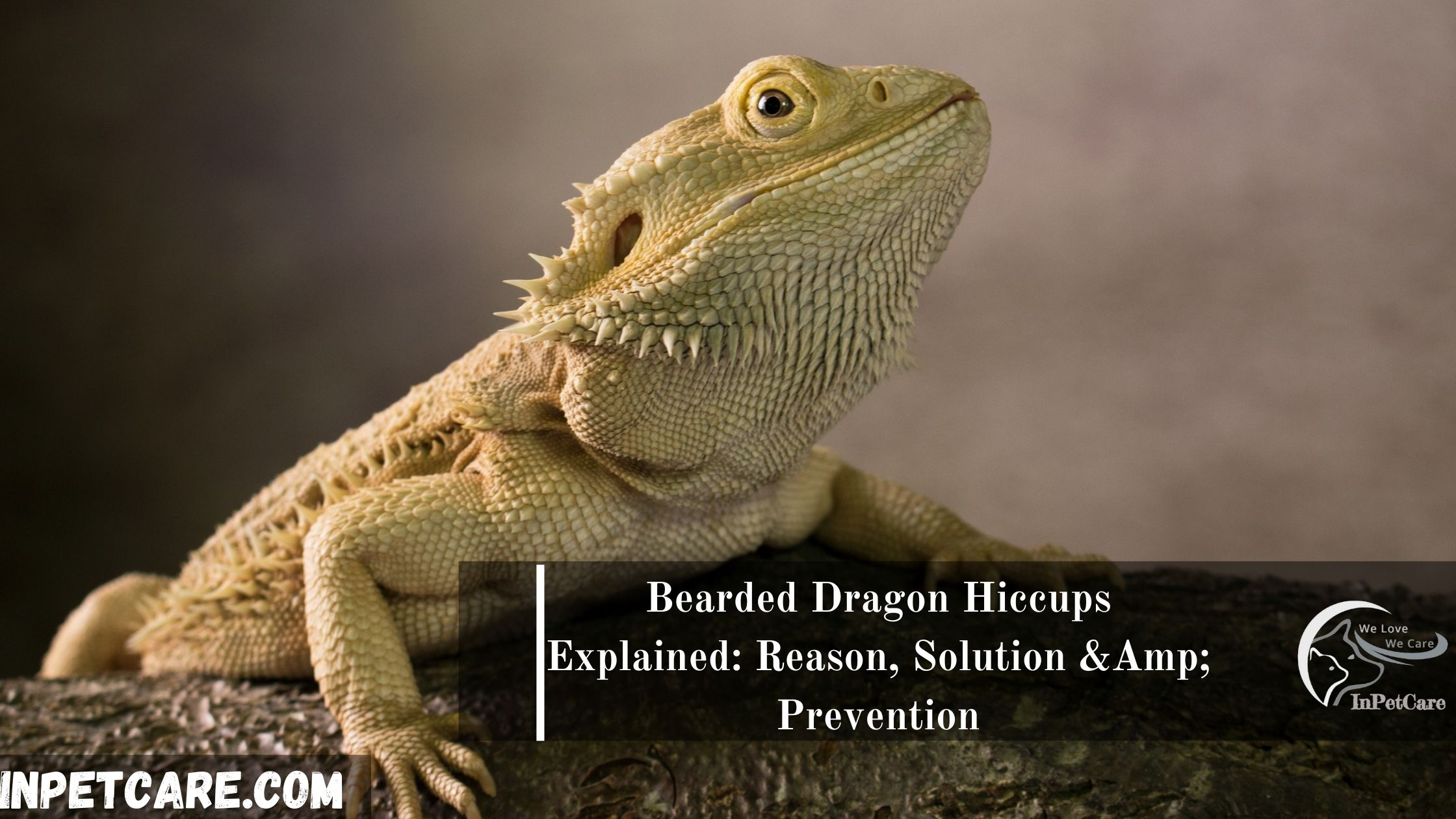 Bearded Dragon Hiccups: Reasons, Solution & Prevention