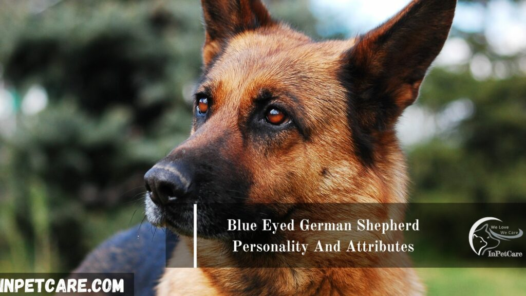 Blue Eyed German Shepherd Personality And Attributes