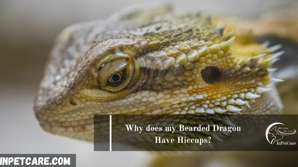 Why does my Bearded Dragon Have Hiccups?
