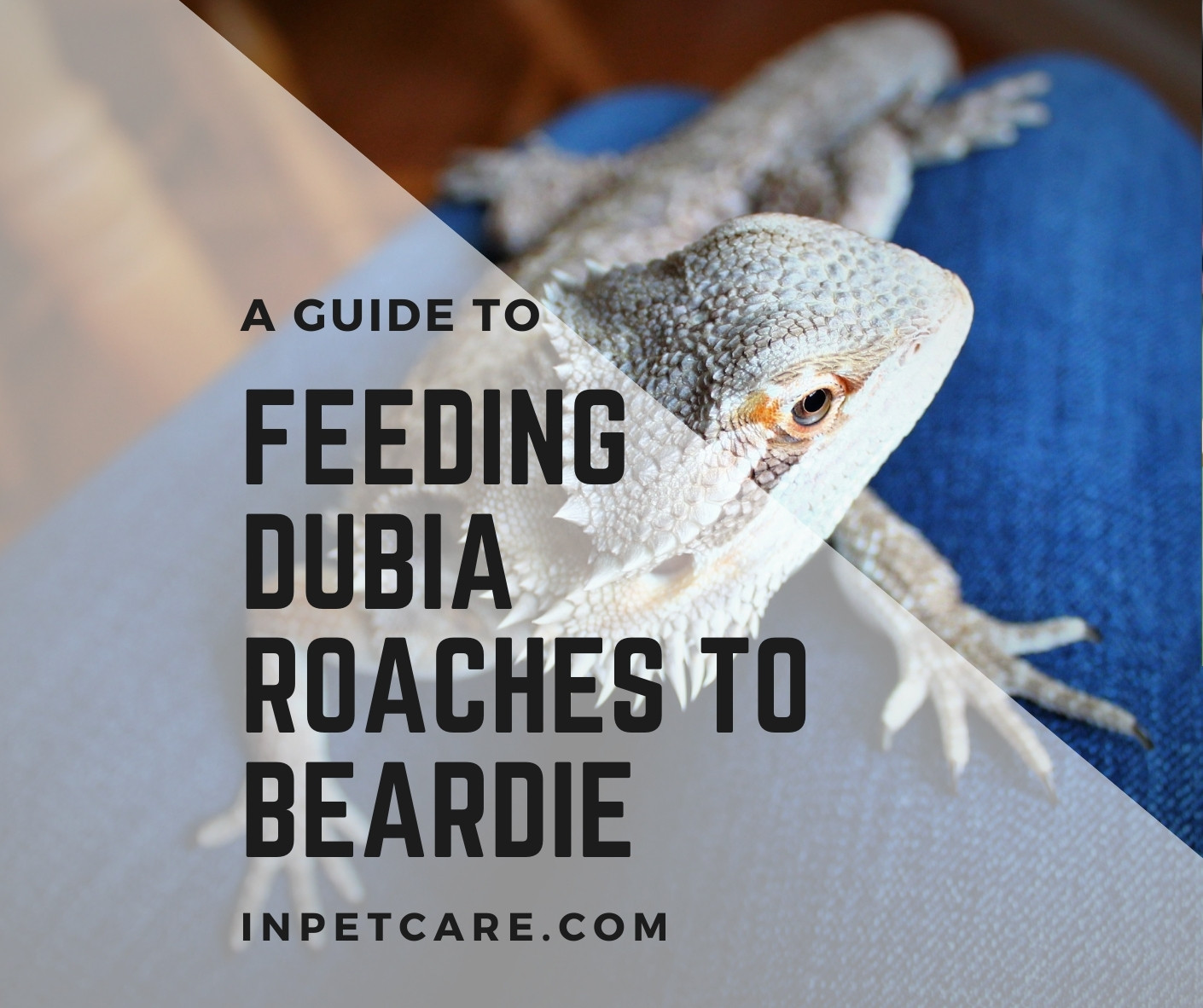 How to Grow and Feed Dubia Roaches to Bearded Dragons